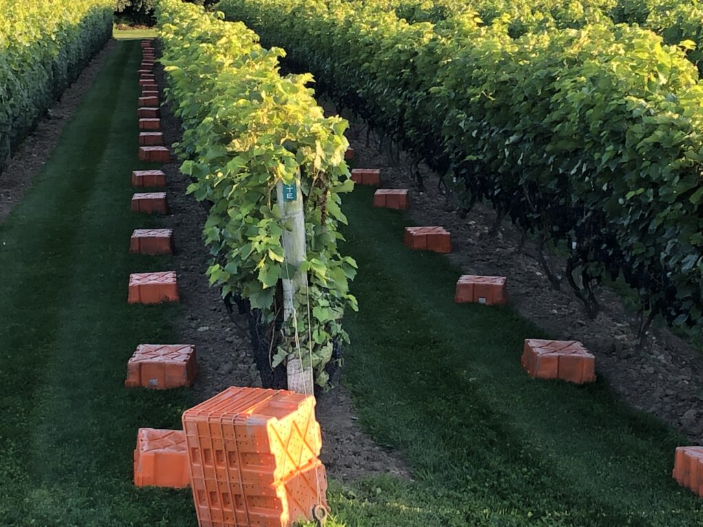 Rows of vines with baskets lying in front of each vine