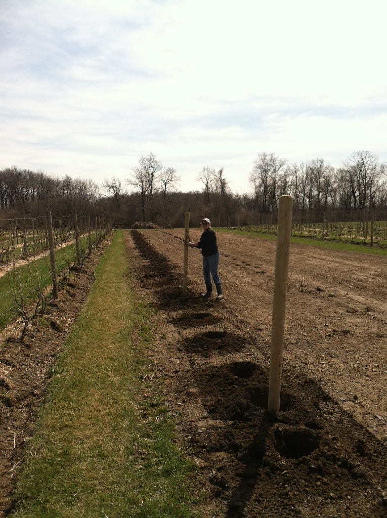 A woman in an incomplete vineyard placing a pole in the ground to support vines